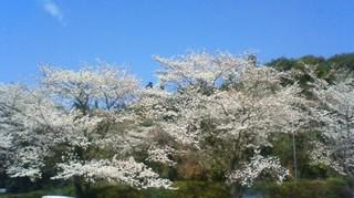 玉造桜.jpg